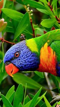 Rainbow Lorikeet Wallpapers apk screenshot
