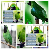 Perawatan Burung Cucak Ijo icon