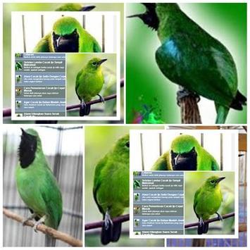 Perawatan Burung Cucak Ijo apk screenshot