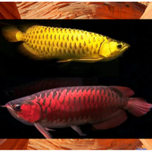 Arowana Fish Contest icon