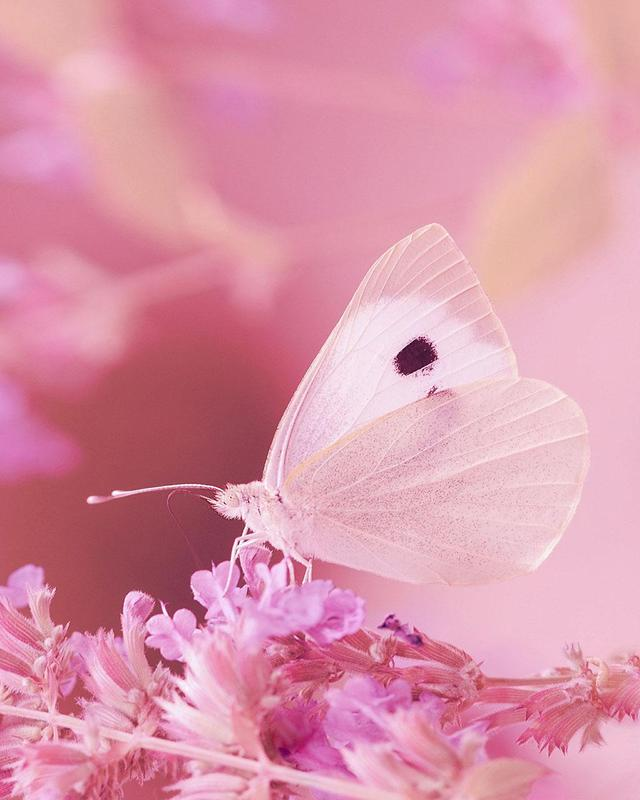 Butterfly Live Wallpaper HD APK Download