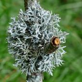 Lichens icon