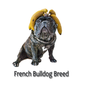 French bulldog Breed icon