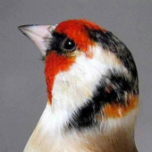 Goldfinch Fans icon
