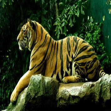 Wall Papers Tiger Images apk screenshot