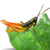 Grasshoppers of the Western US icon