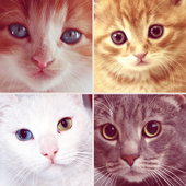 Chats Mignons - Races de chats icon