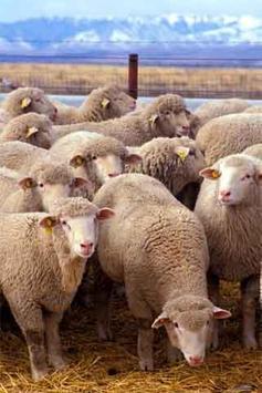How to Draw Sheep apk screenshot