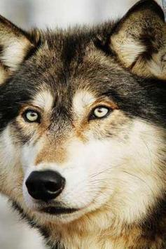 how to draw wolf apk screenshot