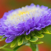 Aster Wallpapers HD icon