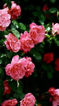 Flowers Beauty Wallpapers 2 HD apk screenshot