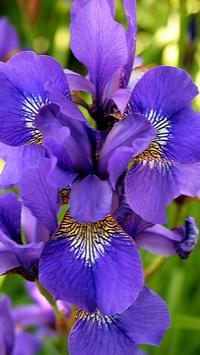 Iris wallpapers HD apk screenshot