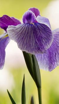 Iris Flower Wallpapers HD apk screenshot