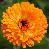 Marigold Wallpapers HD icon