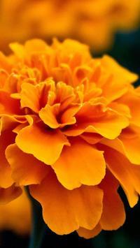 Marigold Wallpapers HD apk screenshot