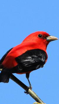 Scarlet Tanager wallpapers HD poster