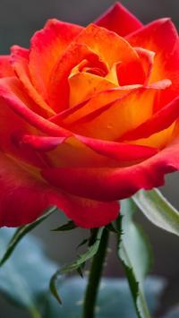 Rose Wallpapers HD apk screenshot
