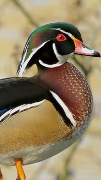 Wood Duck Wallpapers HD apk screenshot