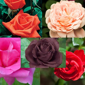 types of roses beautiful icon