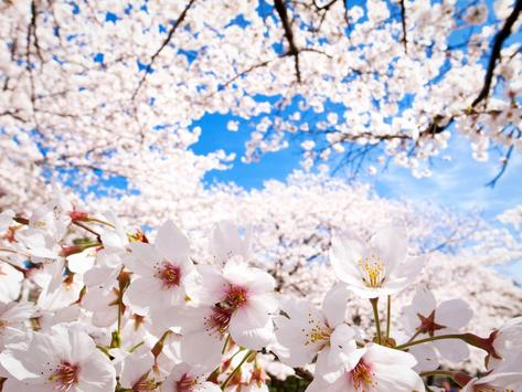 Nature Cherry Tree Wallpapers apk screenshot