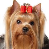 El Yorkshire Terrier icon