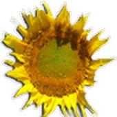 ХЦП подсолнечника icon