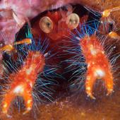Shrimp heads icon