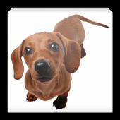 Такса - уход за собакой icon