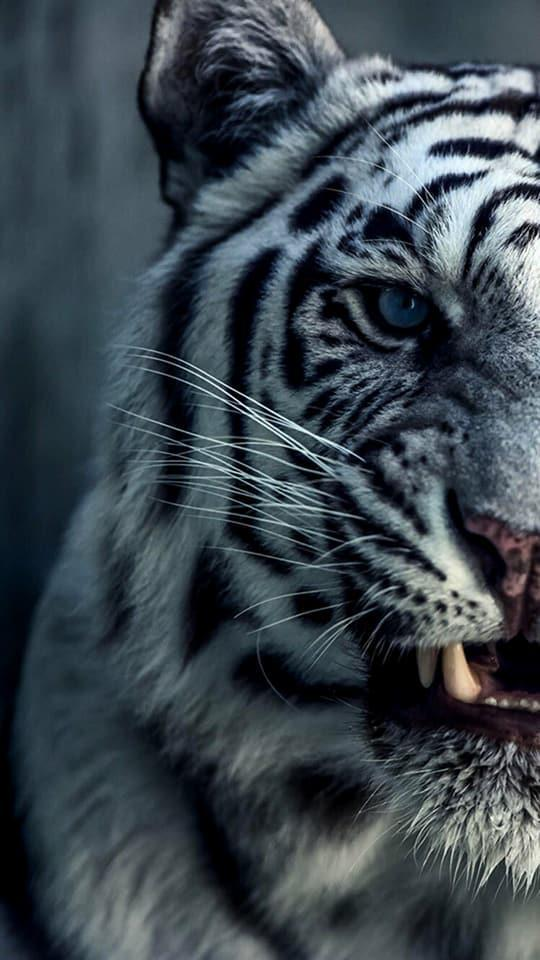 Wild Tigers Wallpapers 4k Ultra Hd For Android Apk Download