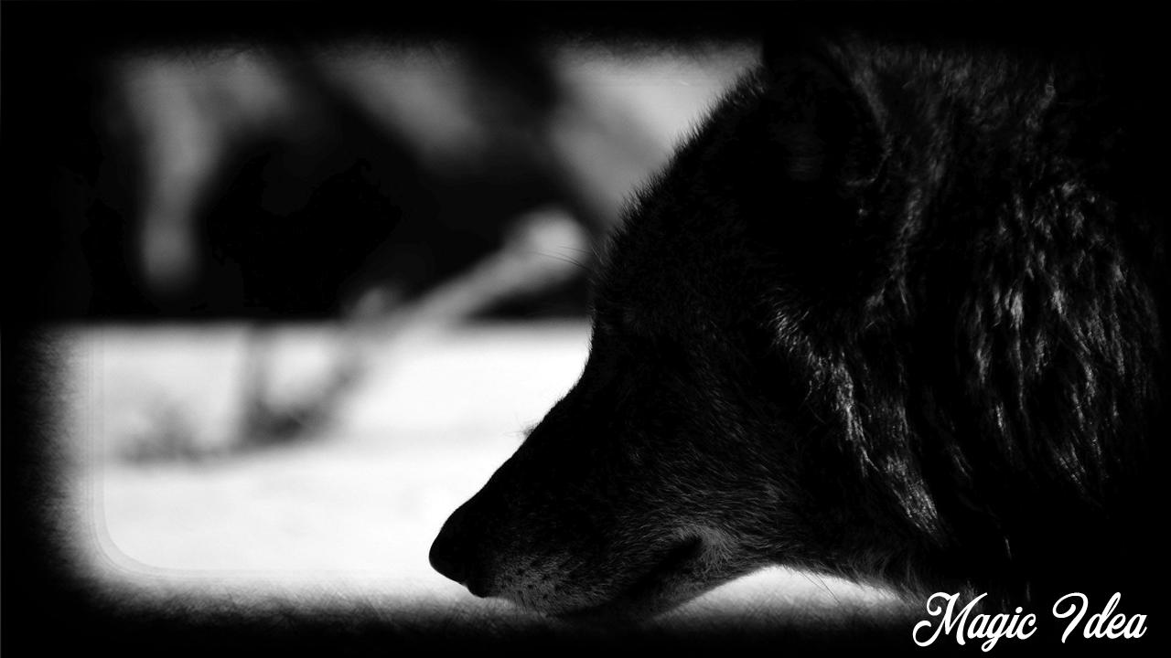 Black Wolf Wallpaper For Android Apk Download