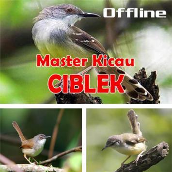 Master Kicau Ciblek Terbaik poster