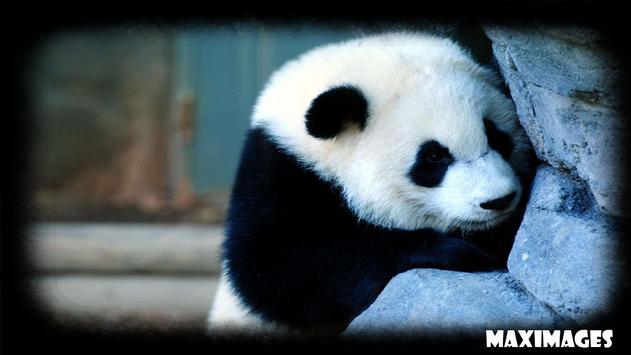 Panda Wallpaper poster