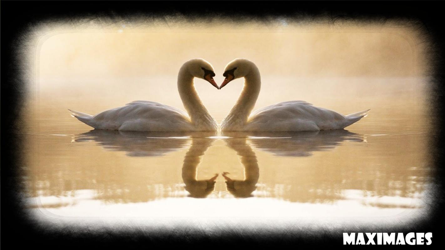 Swan Wallpaper For Android
