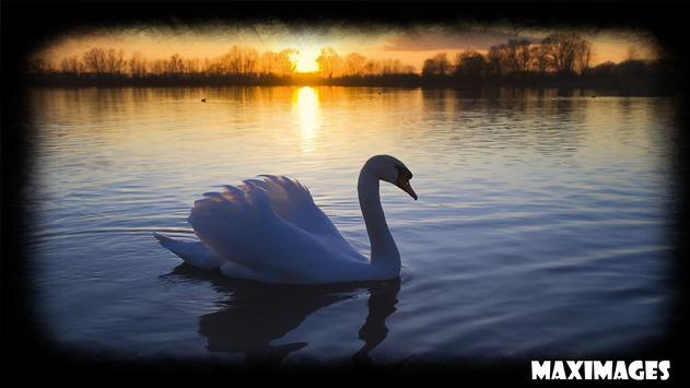 Swan Wallpaper apk screenshot