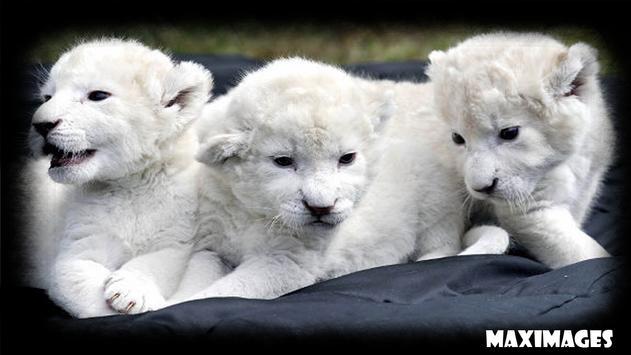 White Lion Wallpaper apk screenshot