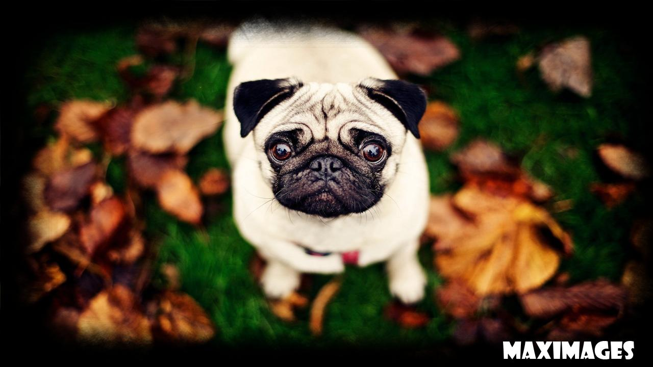 Pug Dog Wallpaper For Android Apk Download