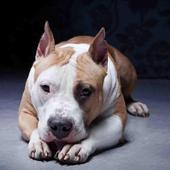 Pitbull Live Wallpaper icon