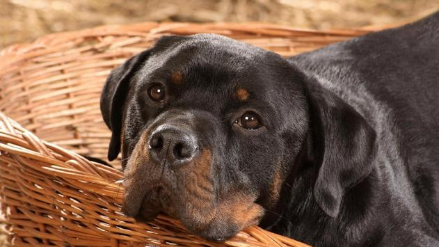 Rottweiler Live Wallpaper apk screenshot