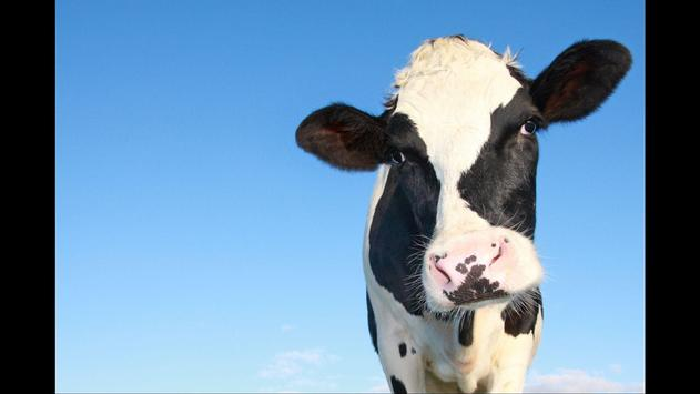 Cows. Love Wallpapers apk screenshot