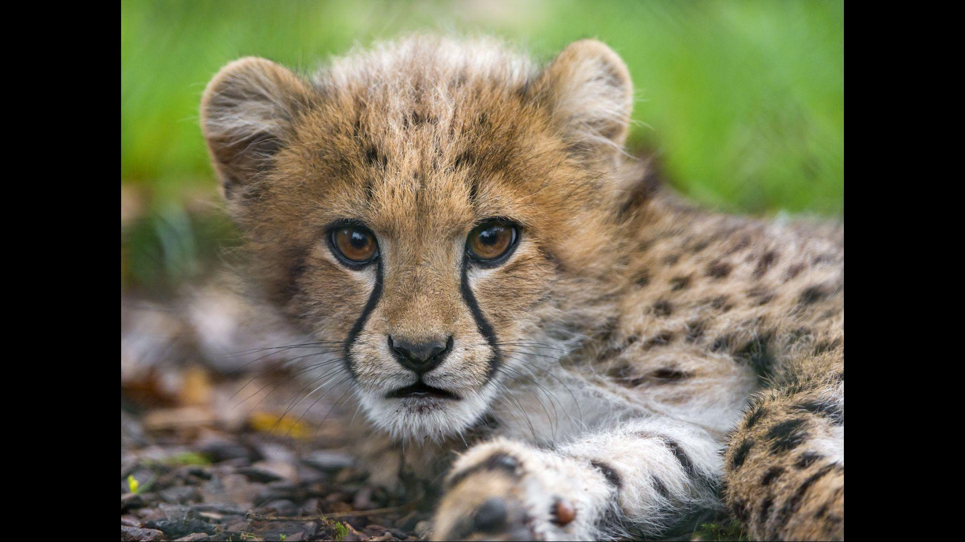 Baby Cheetah Wallpaper For Android Apk Download