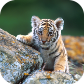 Tiger cubs. Animals Wallpapers icon
