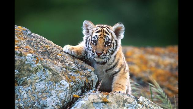 Tiger cubs. Animals Wallpapers poster