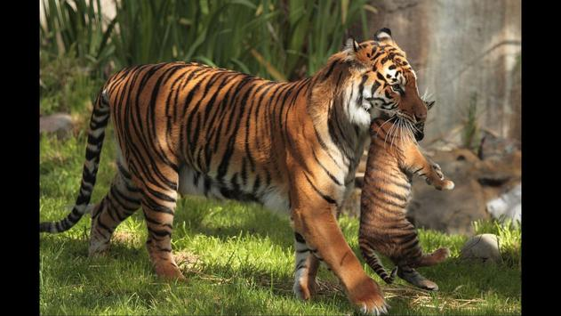 Tiger cubs. Animals Wallpapers screenshot 1