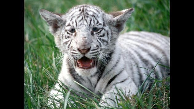 Tiger cubs. Animals Wallpapers screenshot 3