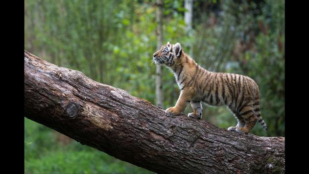 Tiger cubs. Animals Wallpapers apk screenshot