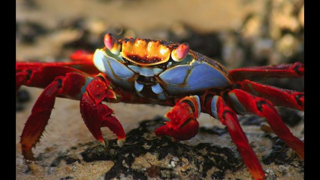 Crab. Nature Wallpapers poster