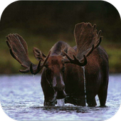 Moose. Nature Wallpapers icon