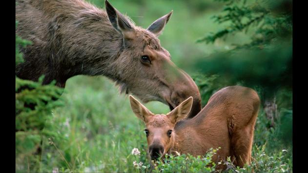 Moose. Nature Wallpapers screenshot 2