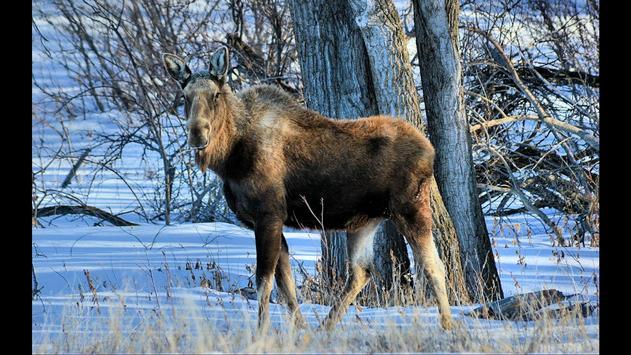 Moose. Nature Wallpapers screenshot 3