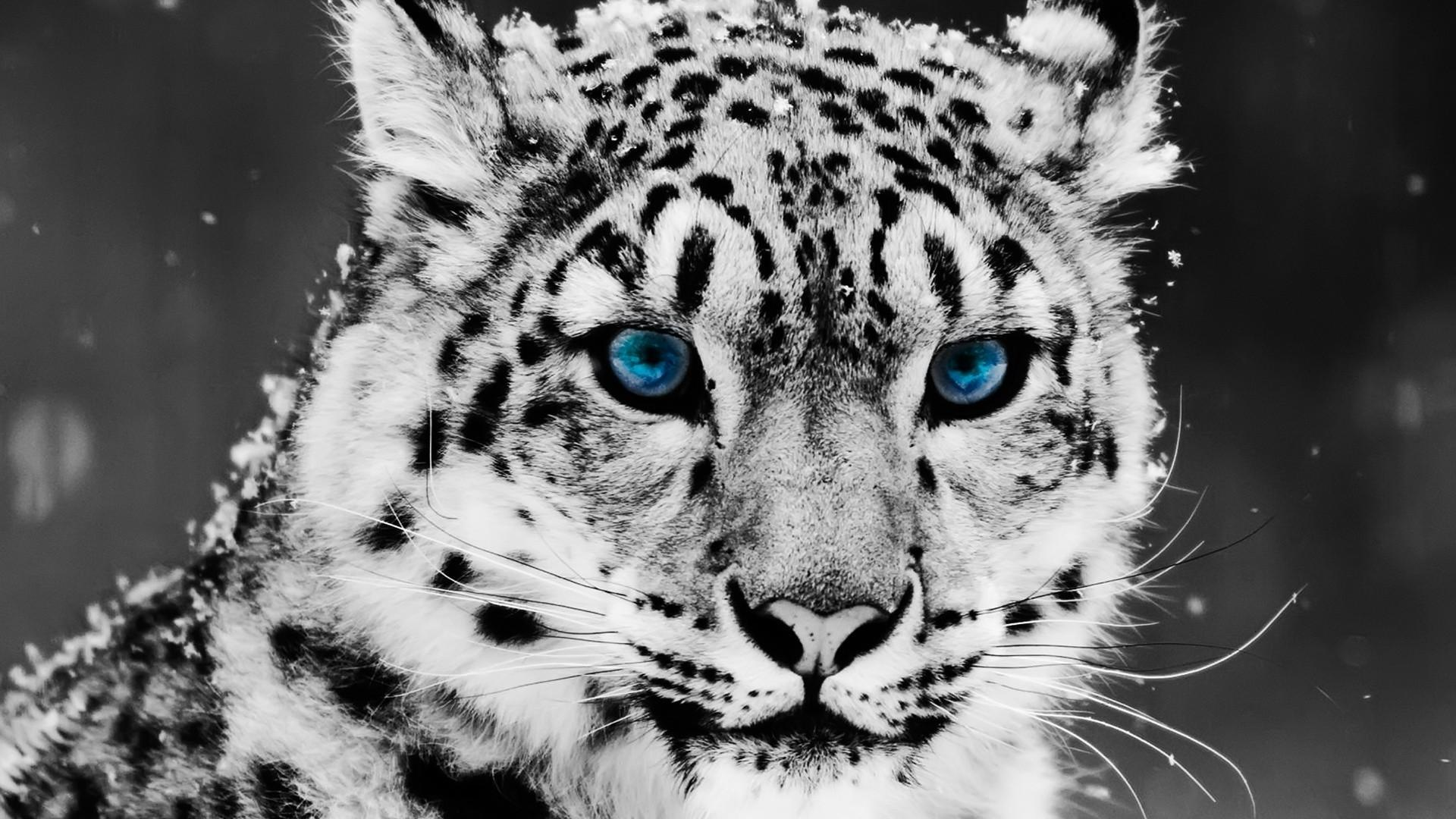 Snow Leopard Wallpaper For Android Apk Download